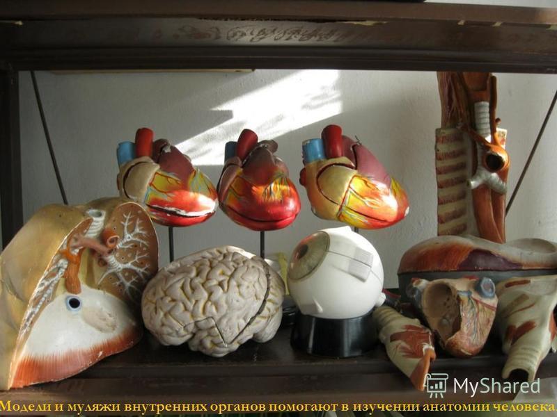 Модели и муляжи внутренних органов помогают в изучении анатомии человека.