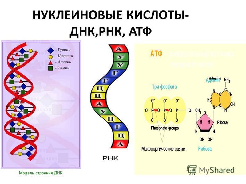 НУКЛЕИНОВЫЕ КИСЛОТЫ- ДНК,РНК, АТФ