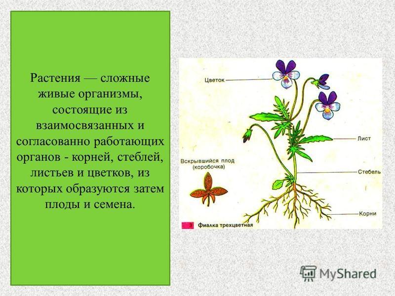Растения сложные живые организмы, состоящие из взаимосвязанных и согласованно работающих органов - корней, стеблей, листьев и цветков, из которых образуются затем плоды и семена.
