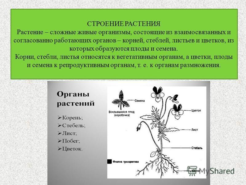 СТРОЕНИЕ РАСТЕНИЯ Растение – сложные живые организмы, состоящие из взаимосвязанных и согласованно работающих органов – корней, стеблей, листьев и цветков, из которых образуются плоды и семена. Корни, стебли, листья относятся к вегетативным органам, а