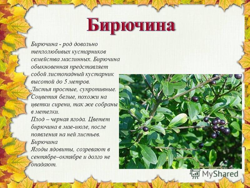 Бирючина - род довольно теплолюбивых кустарников семейства маслинных. Бирючина обыкновенная представляет собой листопадный кустарник высотой до 5 метров. Листья простые, супротивные. Соцветия белые, похожи на цветки сирени, так же собраны в метелки.