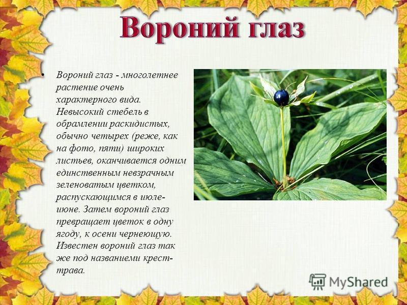 Вороний глаз - многолетнее растение очень характерного вида. Невысокий стебель в обрамлении раскидистых, обычно четырех (реже, как на фото, пяти) широких листьев, оканчивается одним единственным невзрачным зеленоватым цветком, распускающимся в июле-