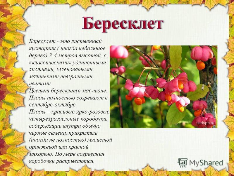 Бересклет - это лиственный кустарник ( иногда небольшое дерево) 3-4 метров высотой, с «классическими» удлиненными листьями, зеленоватыми маленькими невзрачными цветами. Цветет бересклет в мае-июне. Плоды полностью созревают в сентябре-октябре. Плоды