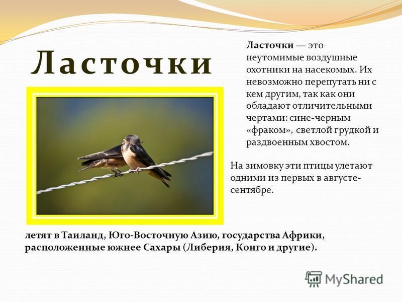 Ласточки На зимовку эти птицы улетают одними из первых в августе- сентябре. Ласточки это неутомимые воздушные охотники на насекомых. Их невозможно перепутать ни с кем другим, так как они обладают отличительными чертами: сине-черным «фраком», светлой