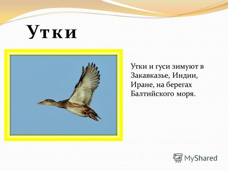 Утки Утки и гуси зимуют в Закавказье, Индии, Иране, на берегах Балтийского моря.