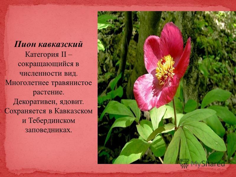 Пион кавказский Категория II – сокращающийся в численности вид. Многолетнее травянистое растение. Декоративен, ядовит. Сохраняется в Кавказском и Тебердинском заповедниках.