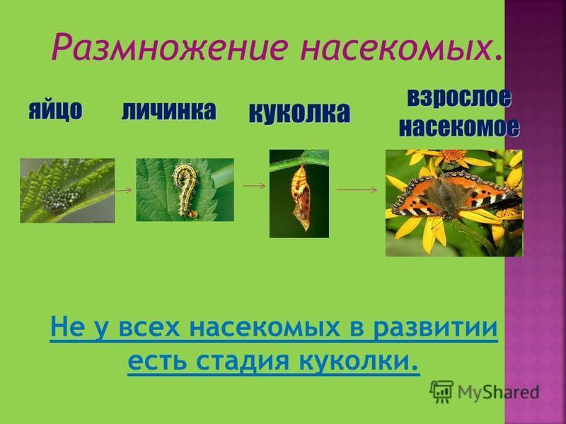 Размножение насекомых. яйцо личинка куколка взрослое насекомое Не у всех насекомых в развитии есть стадия куколки.