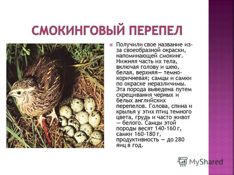 Самая маленькая птичка из семейства фазановых, отряда куриных, длина тела 16-20 см, масса от 80 до 150 г. Окрас оперения желтовато-бурый со светлыми пестрянками и штрихами, брюшко темновато-белого цвета. Самец от самки отличается окраской горла. У са