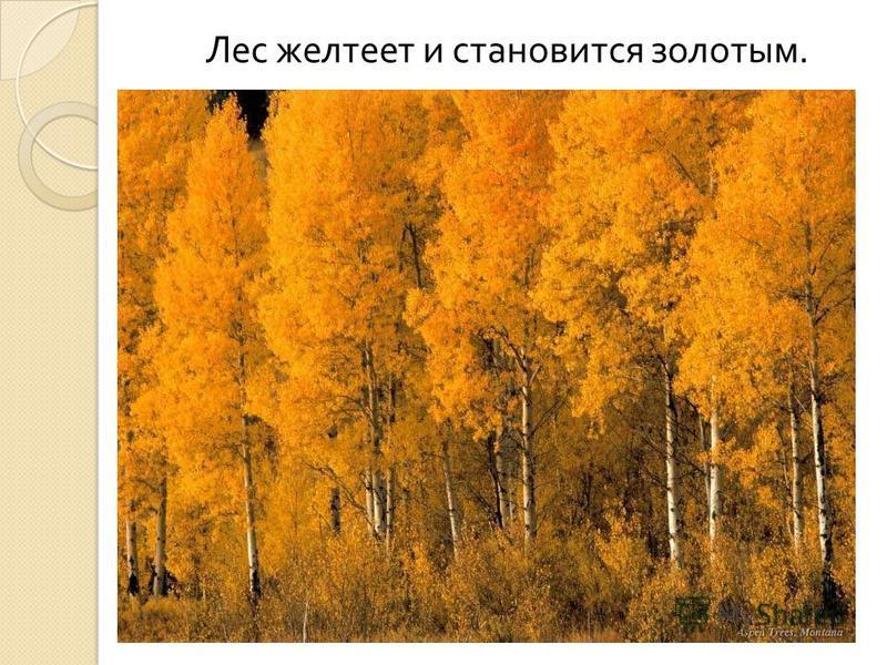 Лес желтеет и становится золотым.