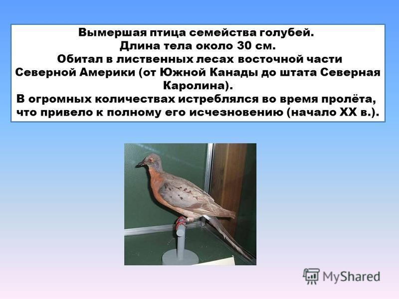 Вымершая птица семейства голубей. Длина тела около 30 см. Обитал в лиственных лесах восточной части Северной Америки (от Южной Канады до штата Северная Каролина). В огромных количествах истреблялся во время пролёта, что привело к полному его исчезнов