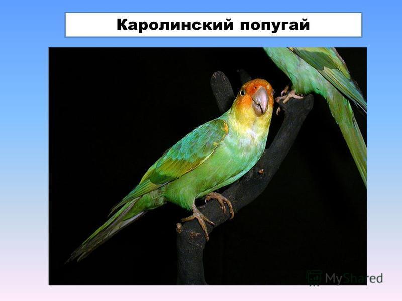 Каролинский попугай