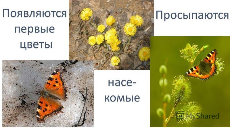 Появляютсяпервыецветы Просыпаются насекомые