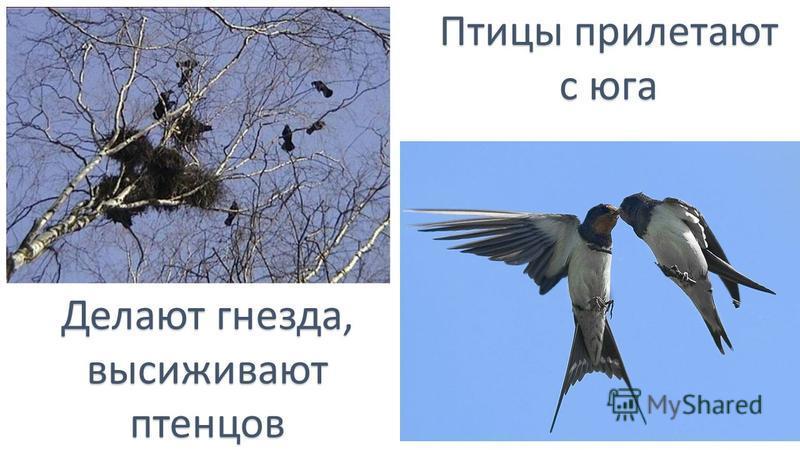 Птицы прилетают с юга Делают гнезда, высиживают птенцов