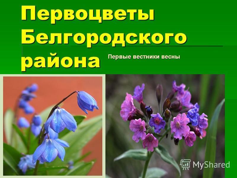 Первоцветы Белгородского района Первые вестники весны