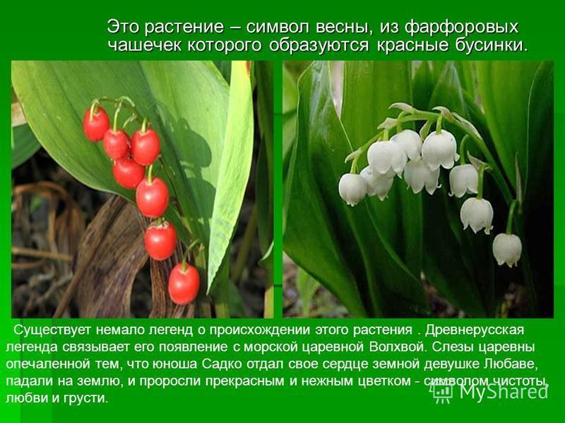 Это растение – символ весны, из фарфоровых чашечек которого образуются красные бусинки. Это растение – символ весны, из фарфоровых чашечек которого образуются красные бусинки. Существует немало легенд о происхождении этого растения. Древнерусская лег