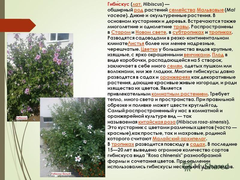 Гибискус (лат. Hibiscus ) обширный род растений семейства Мальвовые ( Mal vaceae ). Дикие и окультуренные растения. В основном кустарники и деревья. Встречаются также многолетние и однолетние травы. Распространены в Старом и Новом свете, в субтропика