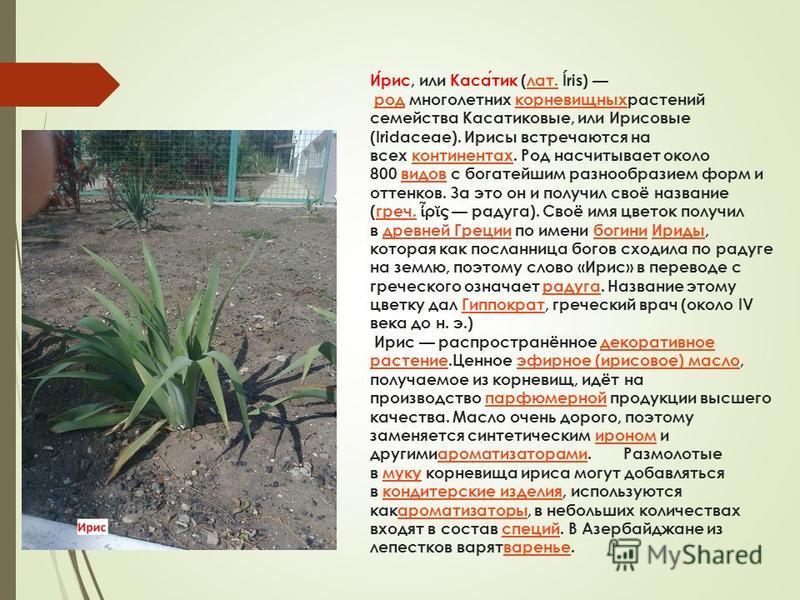 Ирис, или Касатик (лат. Íris) род многолетних корневищныхрастений семейства Касатиковые, или Ирисовые (Iridaceae). Ирисы встречаются на всех континентах. Род насчитывает около 800 видов с богатейшим разнообразием форм и оттенков. За это он и получил