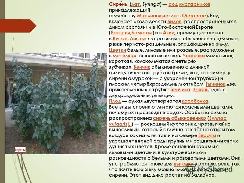 Сирень (лат. Syrínga ) род кустарников, принадлежащий семейству Маслиновые (лат. Oleaceae ). Род включает около десяти видов, распространённых в диком состоянии в Юго-Восточной Европе (Венгрия,Балканы) и в Азии, преимущественно в Китае. Листья супрот