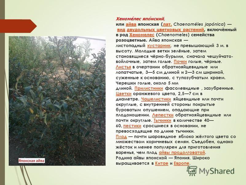 Хеномелес японский, или айва японская (лат. Chaenoméles japónica ) вид двудольных цветковых растений, включённый в род Хеномелес ( Chaenomeles ) семейства розоцветные. Айва японская листопадный кустарник, не превышающий 3 м. в высоту. Молодые ветки з