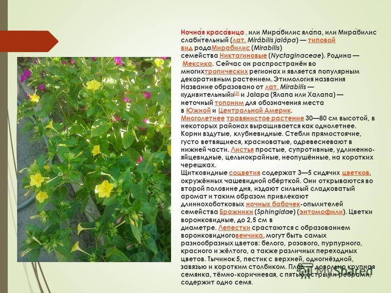 Ночная красавица, или Мирабилис ялапа, или Мирабилис слабительный (лат. Mirábilis jalápa ) типовой вид рода Мирабилис ( Mirabilis ) семейства Никтагиновые ( Nyctaginaceae ). Родина Мексика. Сейчас он распространён во многихтропических регионах и явля