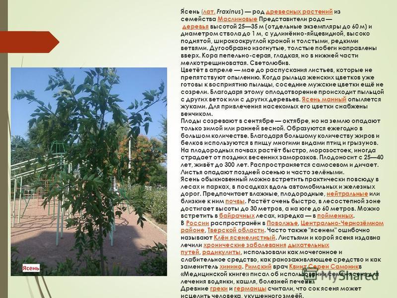 Ясень ( лат. Fraxinus ) род древесных растений из семейства Маслиновые Представители рода деревья высотой 2535 м (отдельные экземпляры до 60 м) и диаметром ствола до 1 м, с удлинённо-яйцевидной, высоко поднятой, широкоокруглой кроной и толстыми, редк