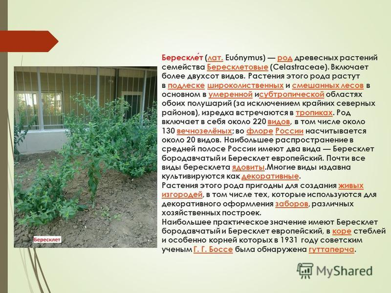 Бересклет (лат. Euónymus) род древесных растений семейства Бересклетовые (Celastraceae). Включает более двухсот видов. Растения этого рода растут в подлеске широколиственных и смешанных лесов в основном в умеренной и субтропической областях обоих пол