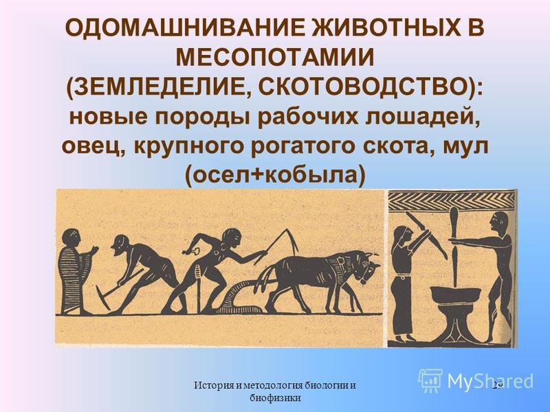 ОДОМАШНИВАНИЕ ЖИВОТНЫХ В МЕСОПОТАМИИ (ЗЕМЛЕДЕЛИЕ, СКОТОВОДСТВО): новые породы рабочих лошадей, овец, крупного рогатого скота, мул (осел+кобыла) 29История и методология биологии и биофизики