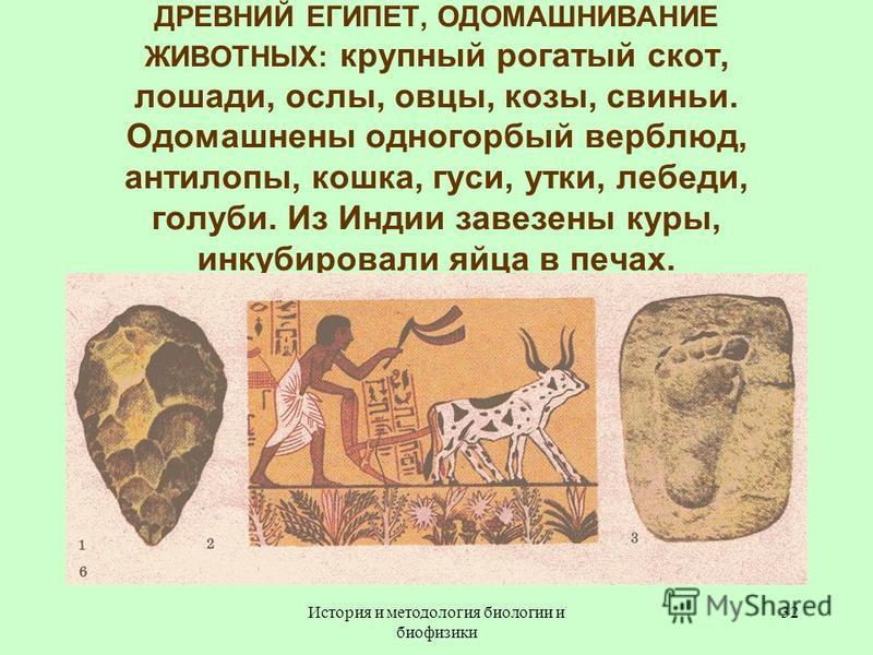 ДРЕВНИЙ ЕГИПЕТ, ОДОМАШНИВАНИЕ ЖИВОТНЫХ: крупный рогатый скот, лошади, ослы, овцы, козы, свиньи. Одомашнены одногорбый верблюд, антилопы, кошка, гуси, утки, лебеди, голуби. Из Индии завезены куры, инкубировали яйца в печах. 32История и методология био