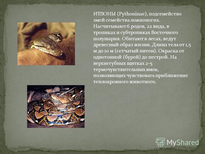 ИҘОНЫ (Pythoninae), подсемейство змей семейства ложноногих. Насчитывают 6 родов, 22 вида, в тропиках и субтропиках Восточного полушария. Обитают в лесах, ведут древесный образ жизни. Длина тела от 1,5 м до 10 м (сетчатый питон). Окраска от однотонно