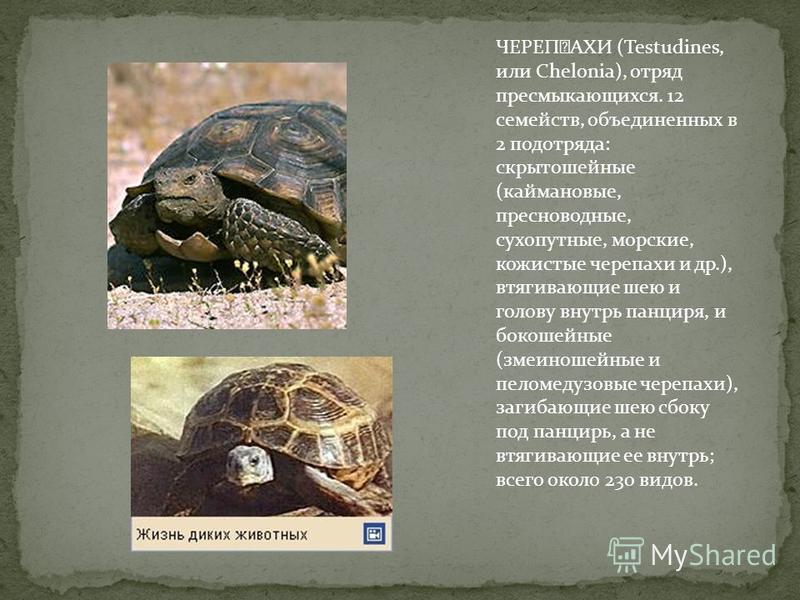 ЧЕРЕϘАХИ (Testudines, или Chelonia), отряд пресмыкающихся. 12 семейств, объединенных в 2 подотряда: скрыто шейные (каймановые, пресноводные, сухопутные, морские, кожистые черепахи и др.), втягивающие шею и голову внутрь панциря, и бокошейные (змеино