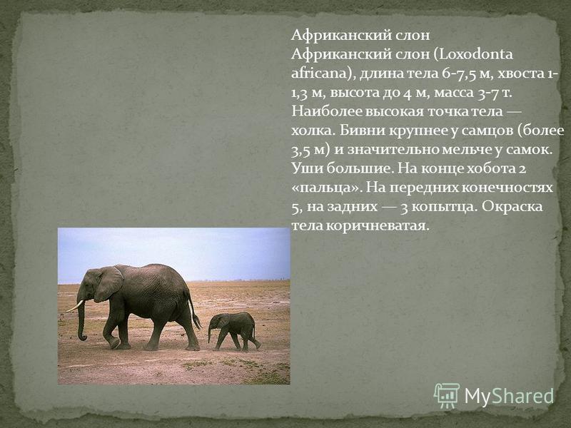 Африканский слон Африканский слон (Loxodonta africana), длина тела 6-7,5 м, хвоста 1- 1,3 м, высота до 4 м, масса 3-7 т. Наиболее высокая точка тела холка. Бивни крупнее у самцов (более 3,5 м) и значительно мельче у самок. Уши большие. На конце хобот