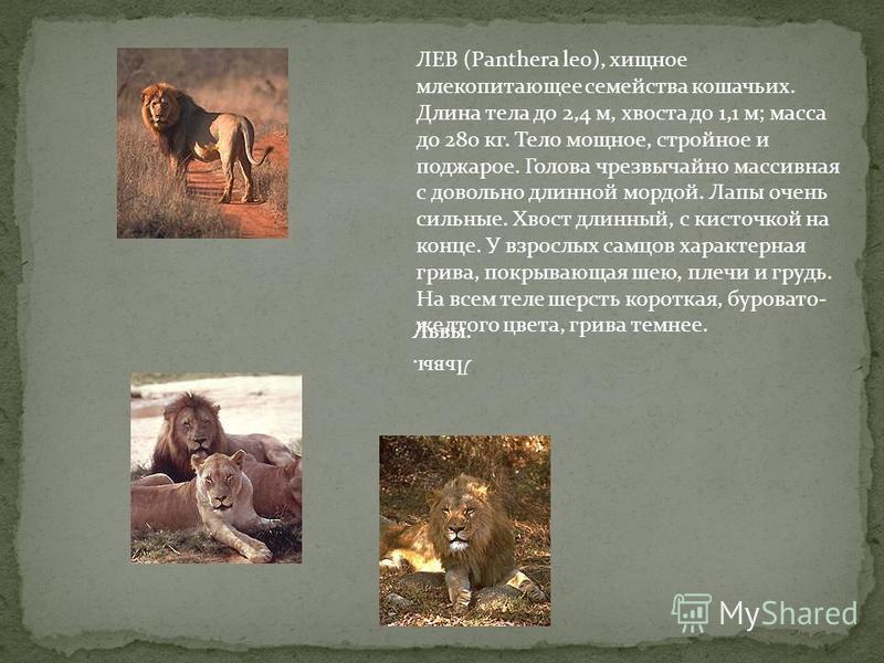 ЛЕВ (Panthera leo), хищное млекопитающее семейства кошачьих. Длина тела до 2,4 м, хвоста до 1,1 м; масса до 280 кг. Тело мощное, стройное и поджарое. Голова чрезвычайно массивная с довольно длинной мордой. Лапы очень сильные. Хвост длинный, с кисточк