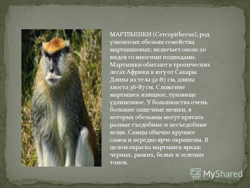 МАРҘЫШКИ (Cercopithecus), род узконосых обезьян семейства мартышковых; включает около 20 видов со многими подвидами. Мартышки обитают в тропических лесах Африки к югу от Сахары. Длина их тела 32-87 см, длина хвоста 36-87 см. Сложение мартышек изящно