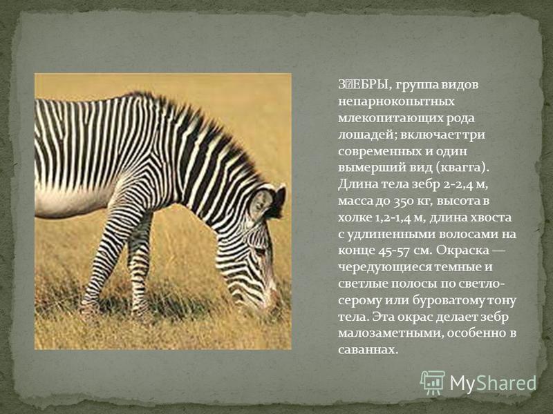 ǘЕБРЫ, группа видов непарнокопытных млекопитающих рода лошадей; включает три современных и один вымерший вид (квагга). Длина тела зебр 2-2,4 м, масса до 350 кг, высота в холке 1,2-1,4 м, длина хвоста с удлиненными волосами на конце 45-57 см. Окраска