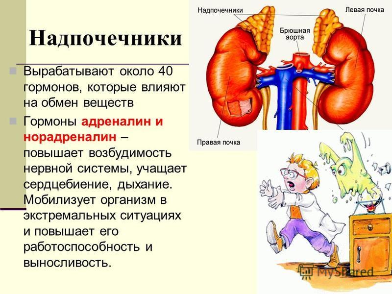 Надпочечники Вырабатывают около 40 гормонов, которые влияют на обмен веществ Гормоны адреналин и норадреналин – повышает возбудимость нервной системы, учащает сердцебиение, дыхание. Мобилизует организм в экстремальных ситуациях и повышает его работос