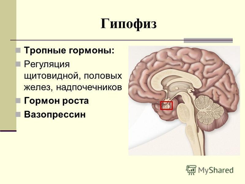 Гипофиз Тропные гормоны: Регуляция щитовидной, половых желез, надпочечников Гормон роста Вазопрессин