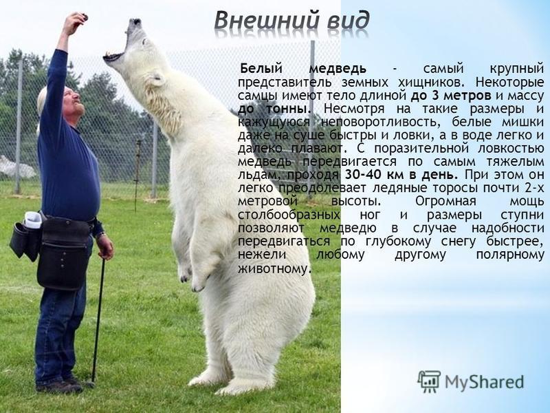 Белый медведь - самый крупный представитель земных хищников. Некоторые самцы имеют тело длиной до 3 метров и массу до тонны. Несмотря на такие размеры и кажущуюся неповоротливость, белые мишки даже на суше быстры и ловки, а в воде легко и далеко плав