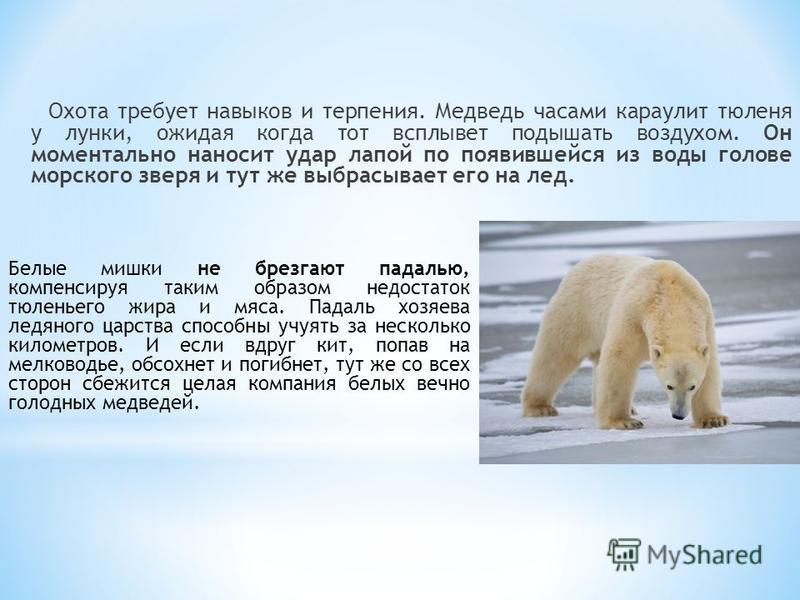 Охота требует навыков и терпения. Медведь часами караулит тюленя у лунки, ожидая когда тот всплывет подышать воздухом. Он моментально наносит удар лапой по появившейся из воды голове морского зверя и тут же выбрасывает его на лед. Белые мишки не брез