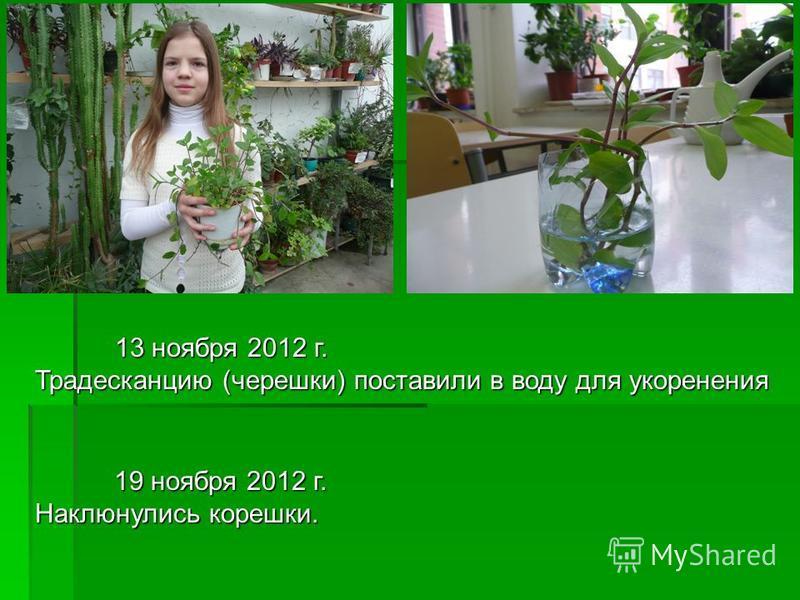 13 ноября 2012 г. Традесканцию (черешки) поставили в воду для укоренения 19 ноября 2012 г. Наклюнулись корешки.