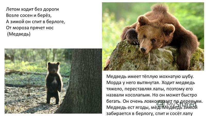 Летом ходит без дороги Возле сосен и берёз, А зимой он спит в берлоге, От мороза прячет нос (Медведь) Медведь имеет тёплую мохнатую шубу. Морда у него вытянутая. Ходит медведь тяжело, переставляя лапы, поэтому его назвали косолапым. Но он может быстр