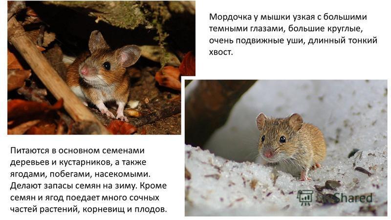 Мордочка у мышки узкая с большими темными глазами, большие круглые, очень подвижные уши, длинный тонкий хвост. Питаются в основном семенами деревьев и кустарников, а также ягодами, побегами, насекомыми. Делают запасы семян на зиму. Кроме семян и ягод