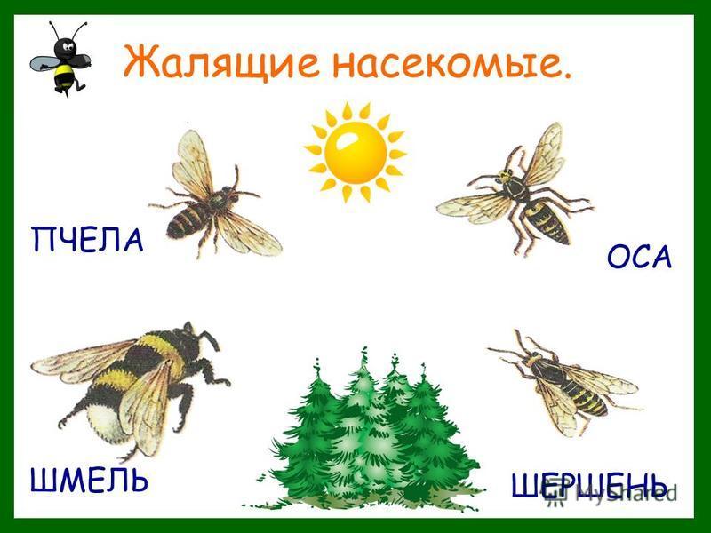 Жалящие насекомые. ПЧЕЛА ОСА ШМЕЛЬ ШЕРШЕНЬ