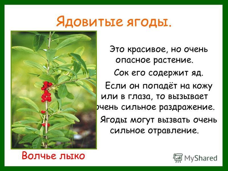 Ядовитые ягоды. Это красивое, но очень опасное растение. Сок его содержит яд. Если он попадёт на кожу или в глаза, то вызывает очень сильное раздражение. Ягоды могут вызвать очень сильное отравление. Волчье лыко