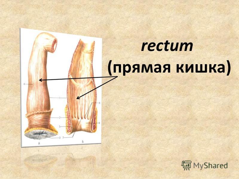 rectum (прямая кишка)