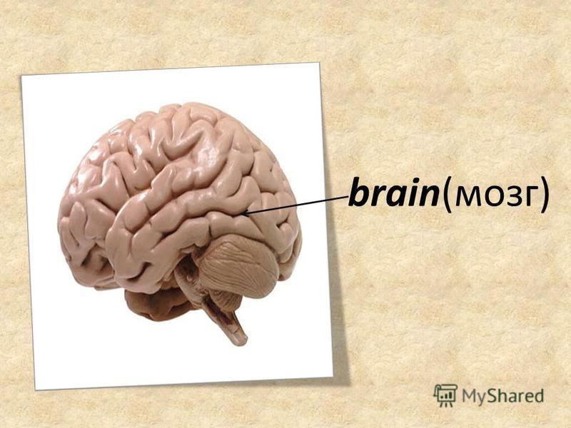 brain(мозг)