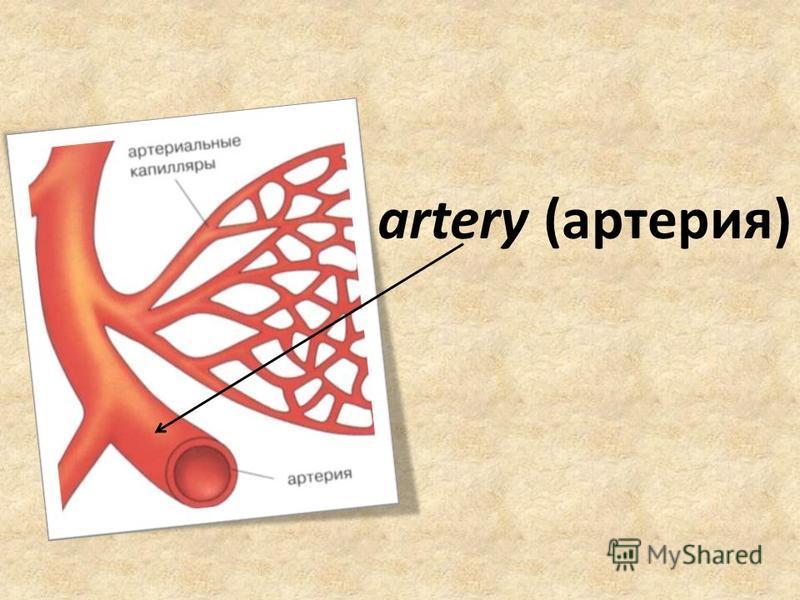 artery (артерия)