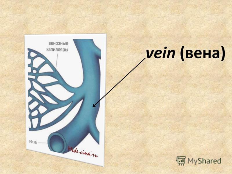 vein (вена)