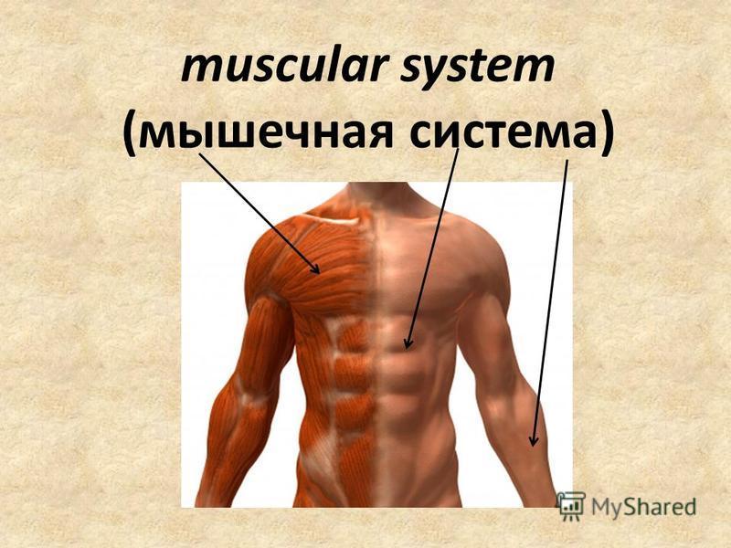 muscular system (мышечная система)