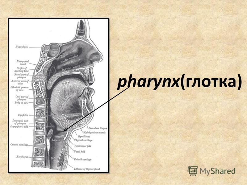pharynx(глотка)