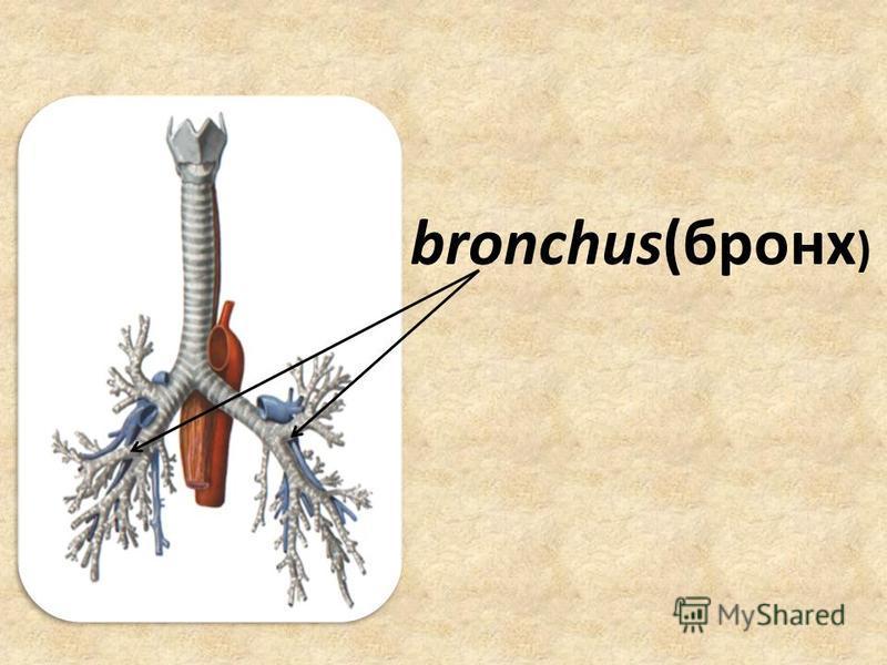 bronchus(бронх )